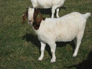 Goat meat, Chevron, Spanish Goat