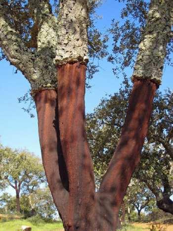 zork cork, wine closures, wine corks, cork tree
