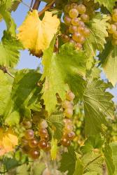 organic wines, organic white wines, white wines