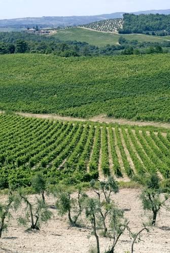 Medicean Wine, Medicean Wine Route, Tuscany vineyard, Tuscany