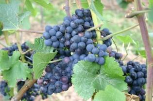 wine, vineyard, grapes