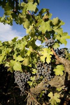 wine, wine vines, organic wine vines