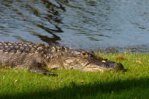 alligator on kiawah, The Sanctuary on Kiawah, wildlife on kiawah