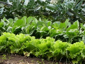 lettuce, locally grown, local produce